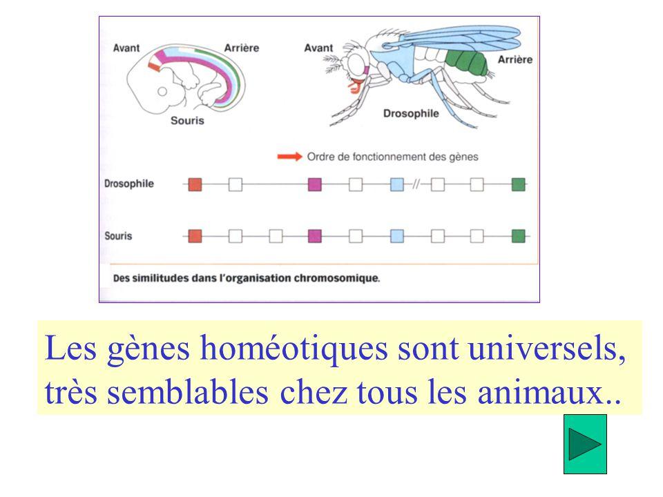 Les gènes homéotiques sont universels,