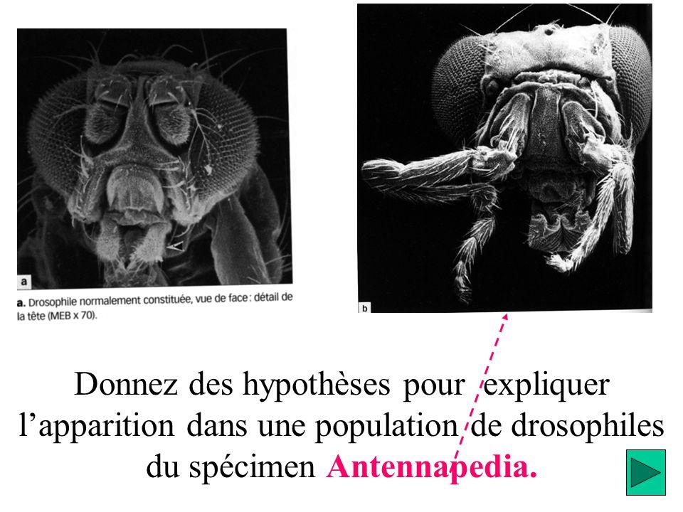 Donnez des hypothèses pour expliquer l'apparition dans une population de drosophiles du spécimen Antennapedia.