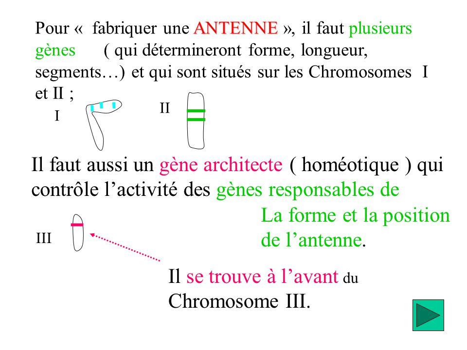 Il faut aussi un gène architecte ( homéotique ) qui