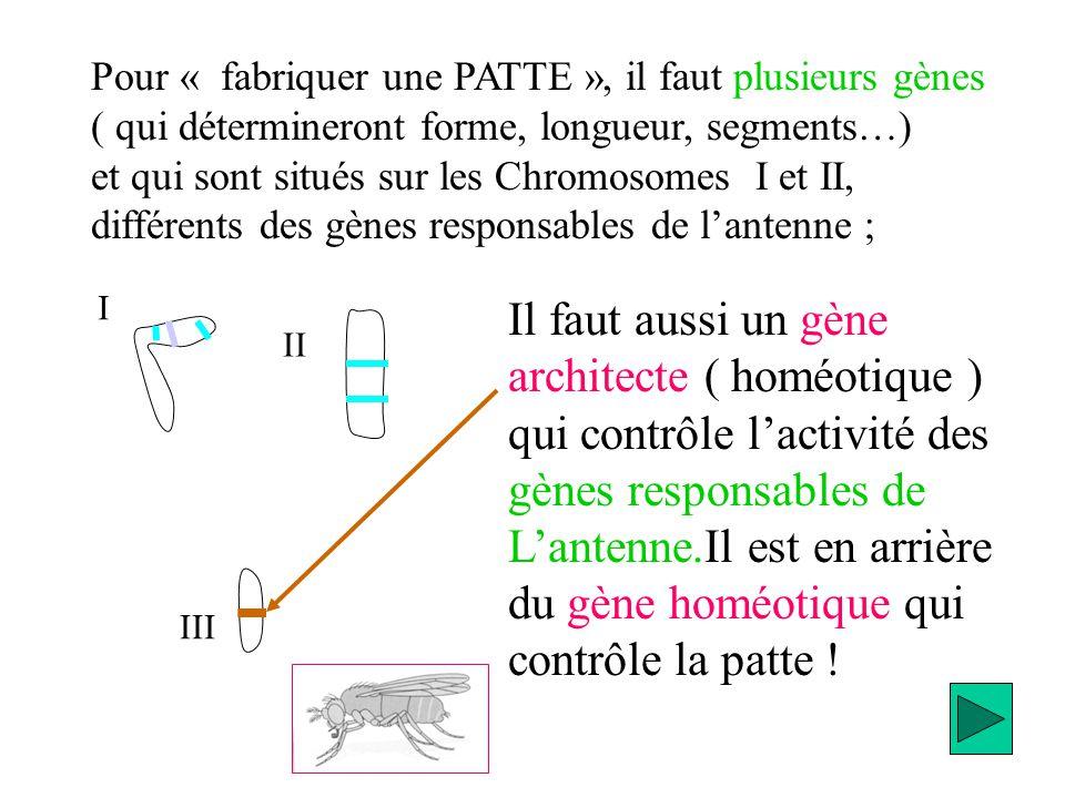 Pour « fabriquer une PATTE », il faut plusieurs gènes