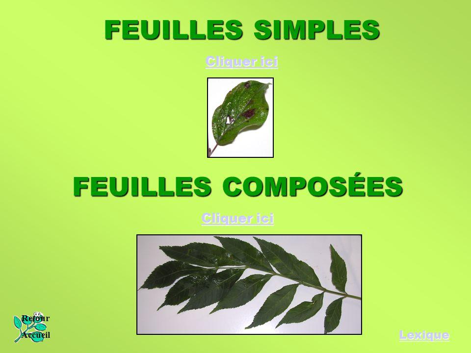 FEUILLES SIMPLES FEUILLES COMPOSÉES Cliquer ici Cliquer ici Lexique