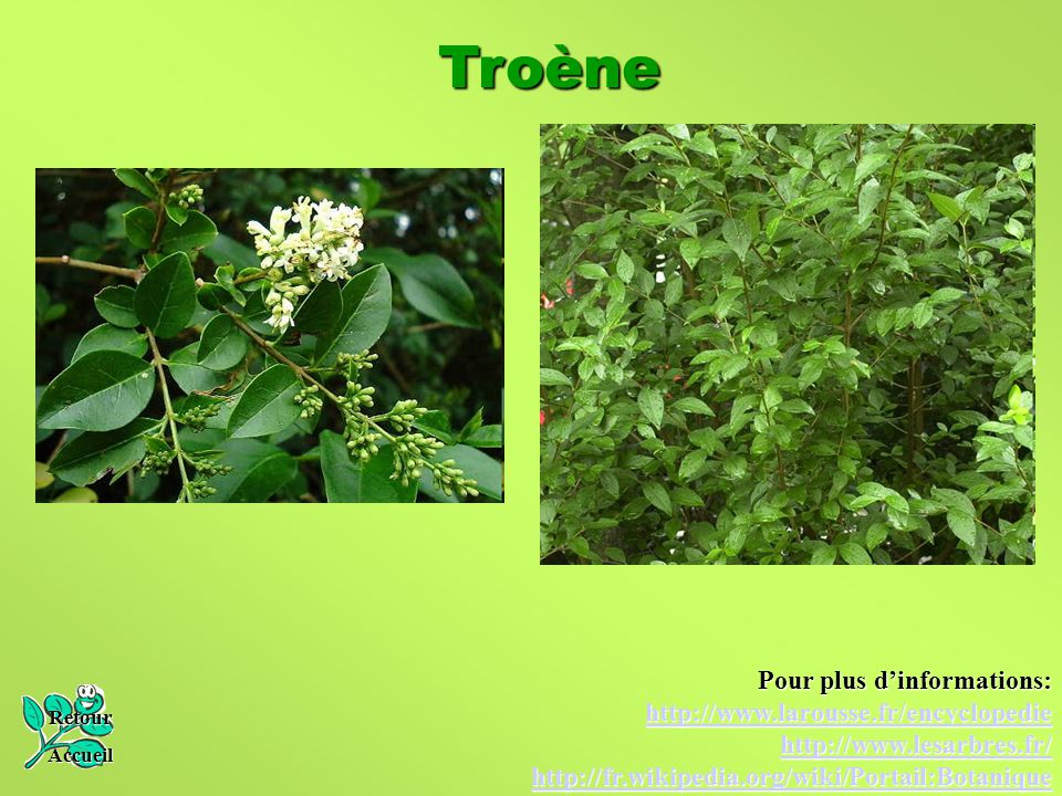Troène Pour plus d'informations: http://www.larousse.fr/encyclopedie