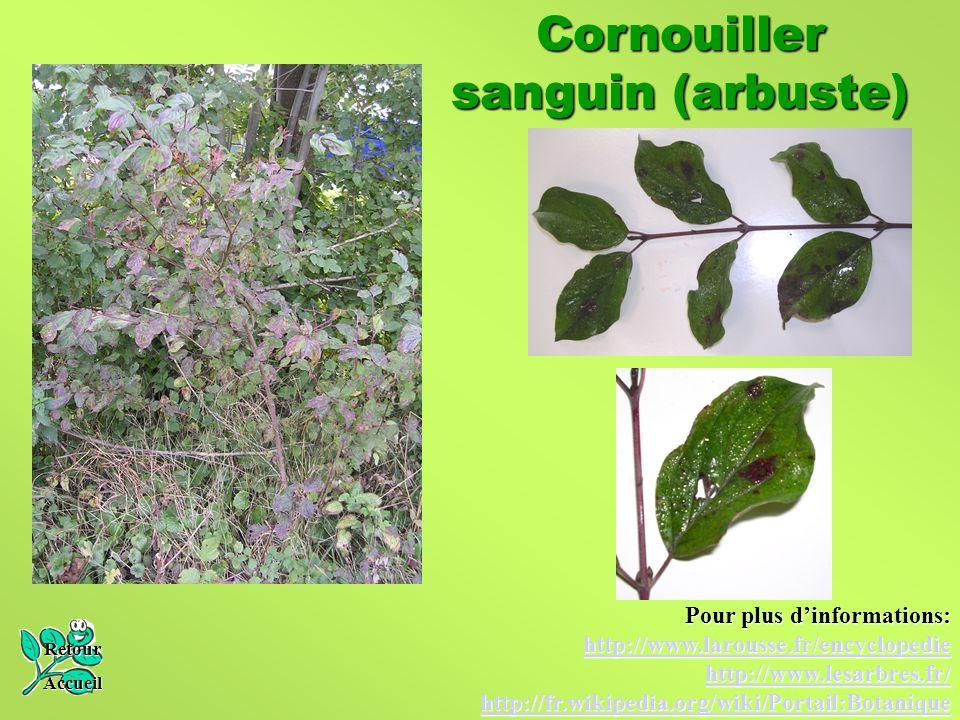 Cornouiller sanguin (arbuste)