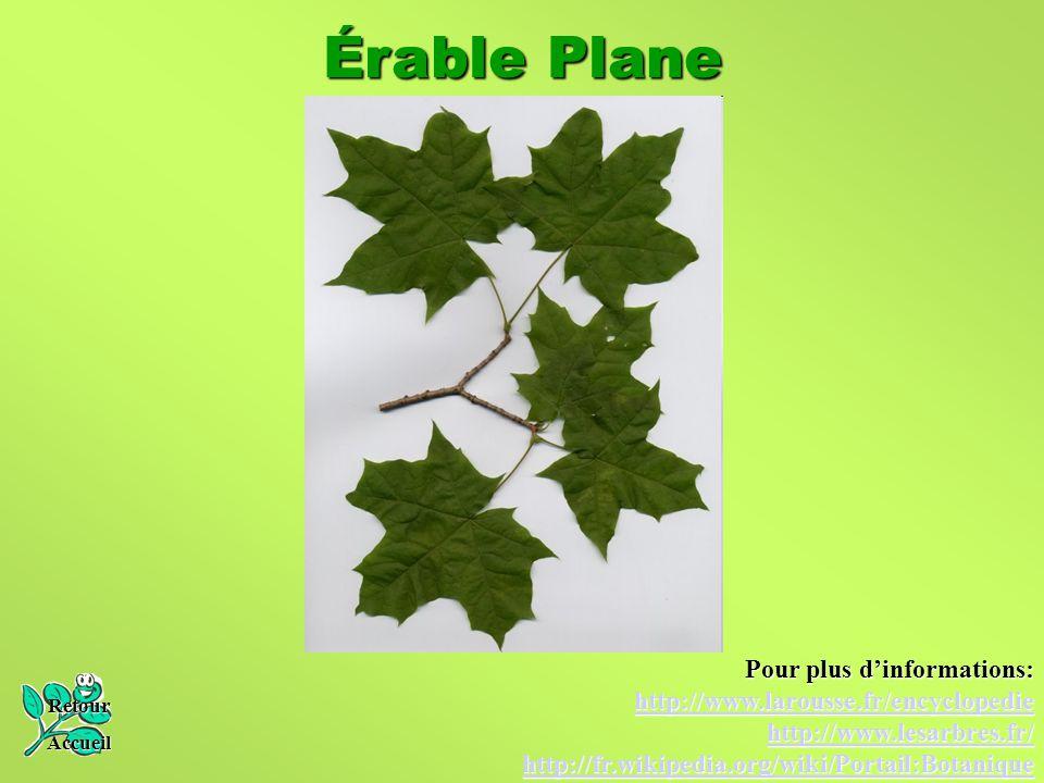Érable Plane Pour plus d'informations: