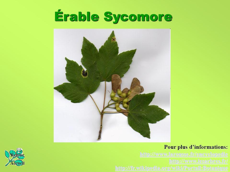 Érable Sycomore Pour plus d'informations: