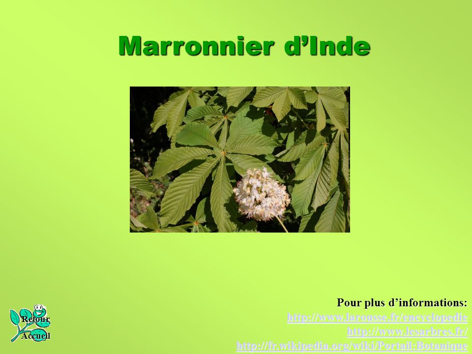 Marronnier d'Inde Pour plus d'informations:
