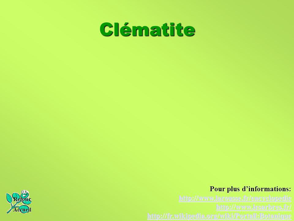 Clématite Pour plus d'informations: