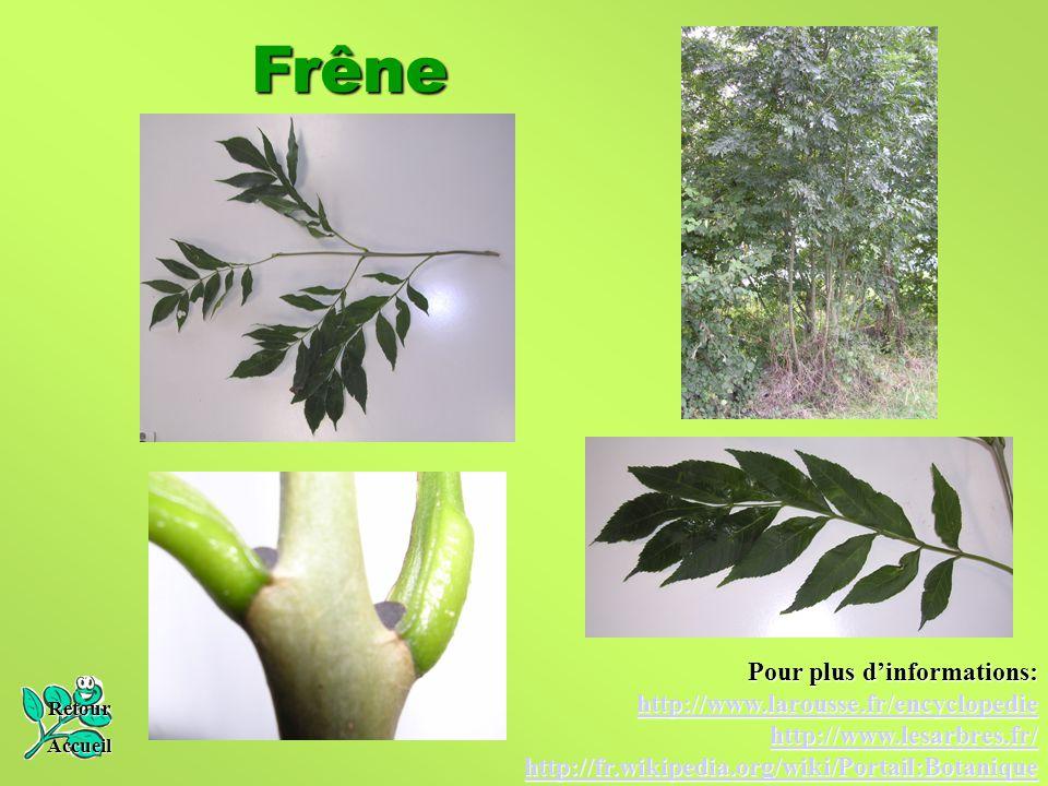Frêne Pour plus d'informations: http://www.larousse.fr/encyclopedie