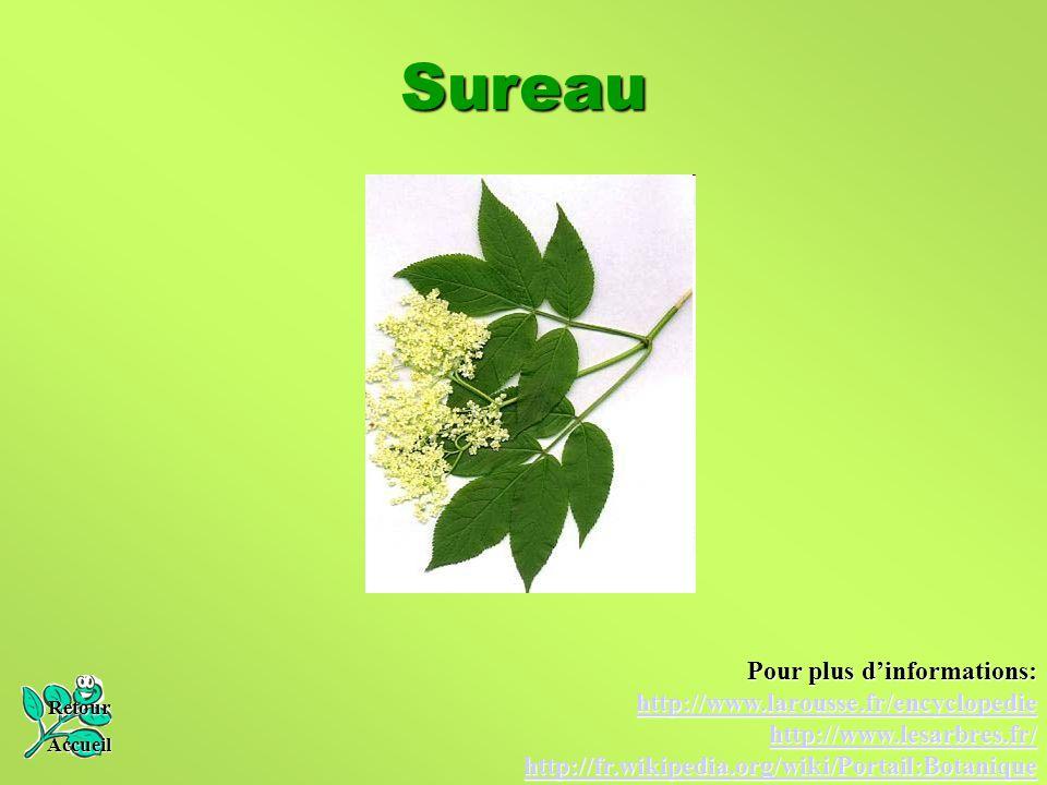 Sureau Pour plus d'informations: http://www.larousse.fr/encyclopedie