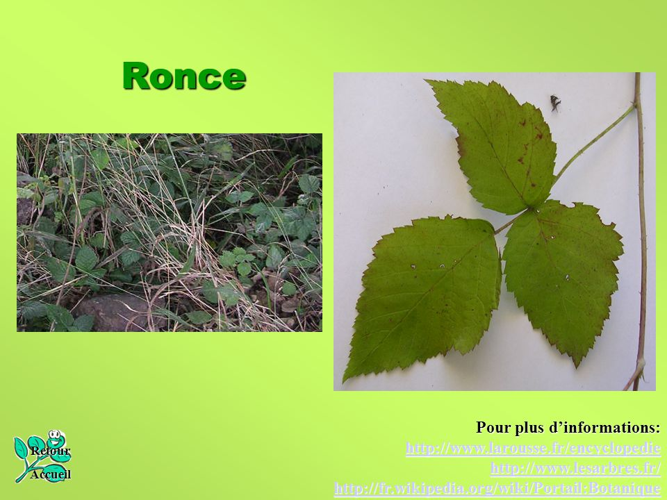 Ronce Pour plus d'informations: http://www.larousse.fr/encyclopedie