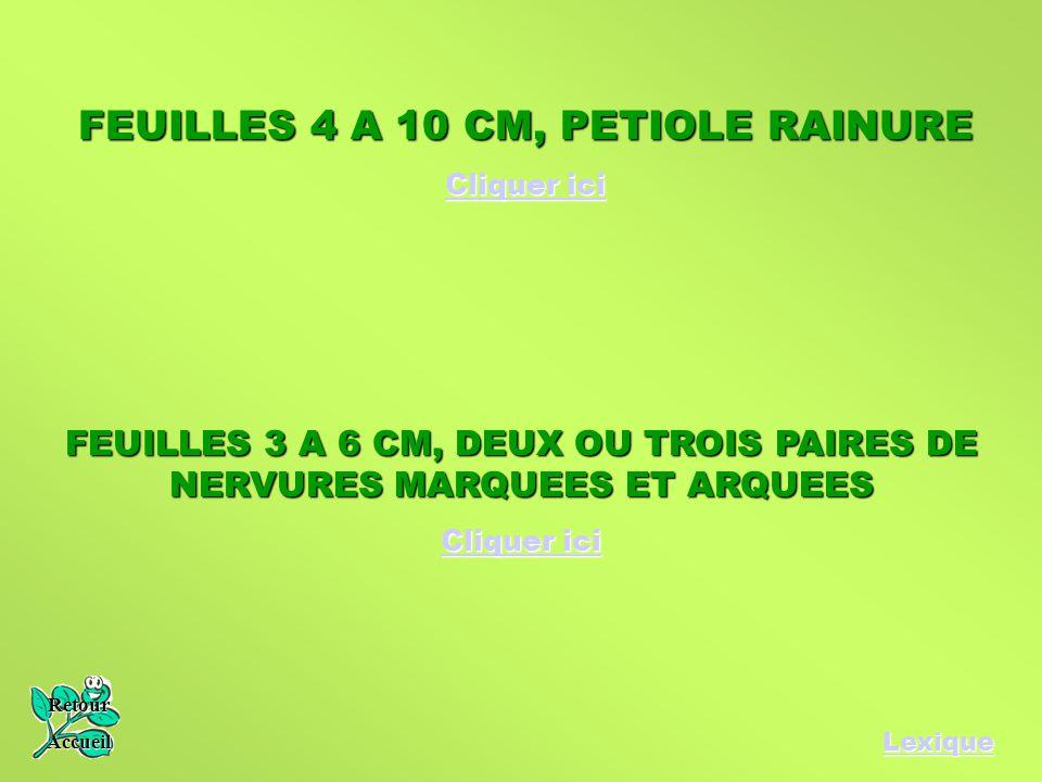 FEUILLES 4 A 10 CM, PETIOLE RAINURE