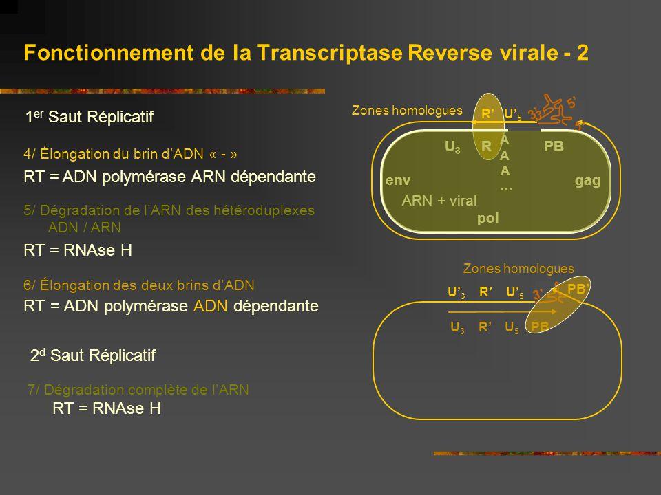 Fonctionnement de la Transcriptase Reverse virale - 2