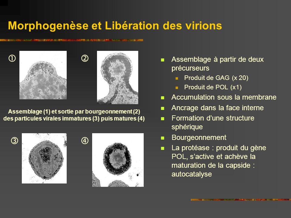 Morphogenèse et Libération des virions