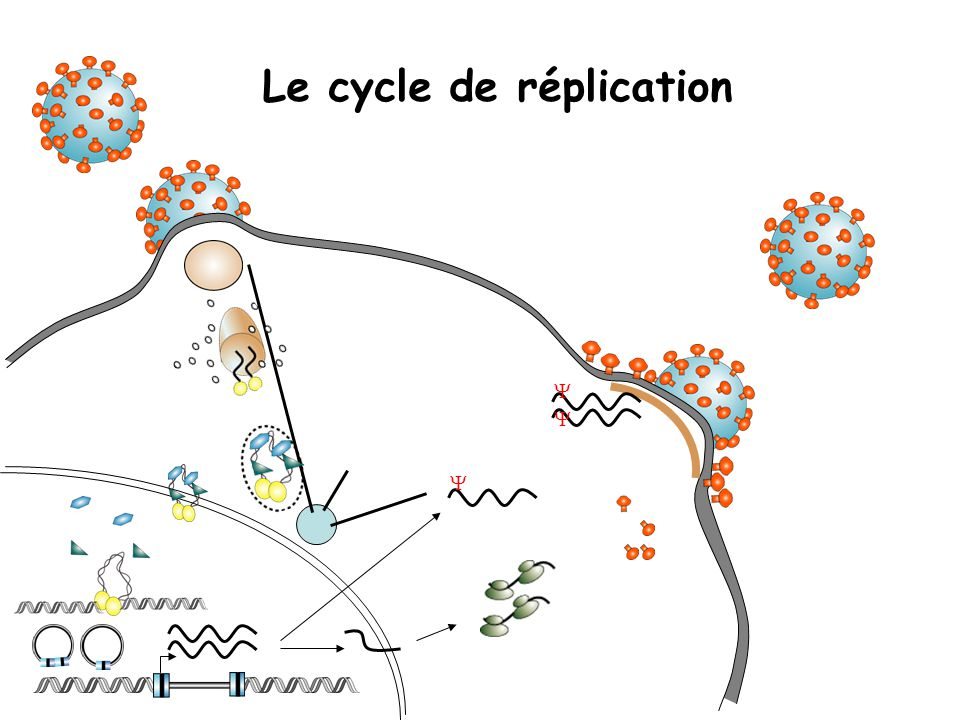 Le cycle de réplication