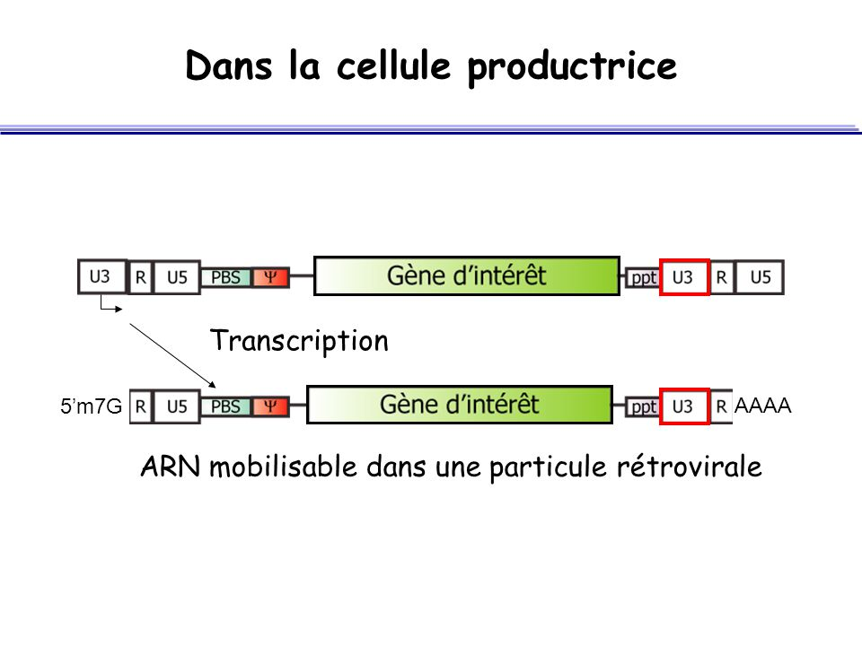 Dans la cellule productrice
