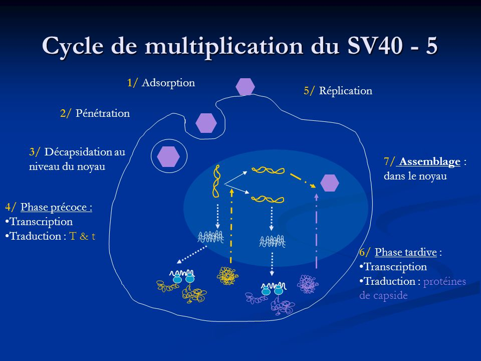 Cycle de multiplication du SV40 - 5