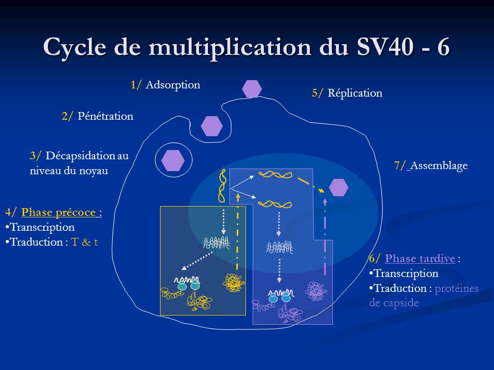 Cycle de multiplication du SV40 - 6