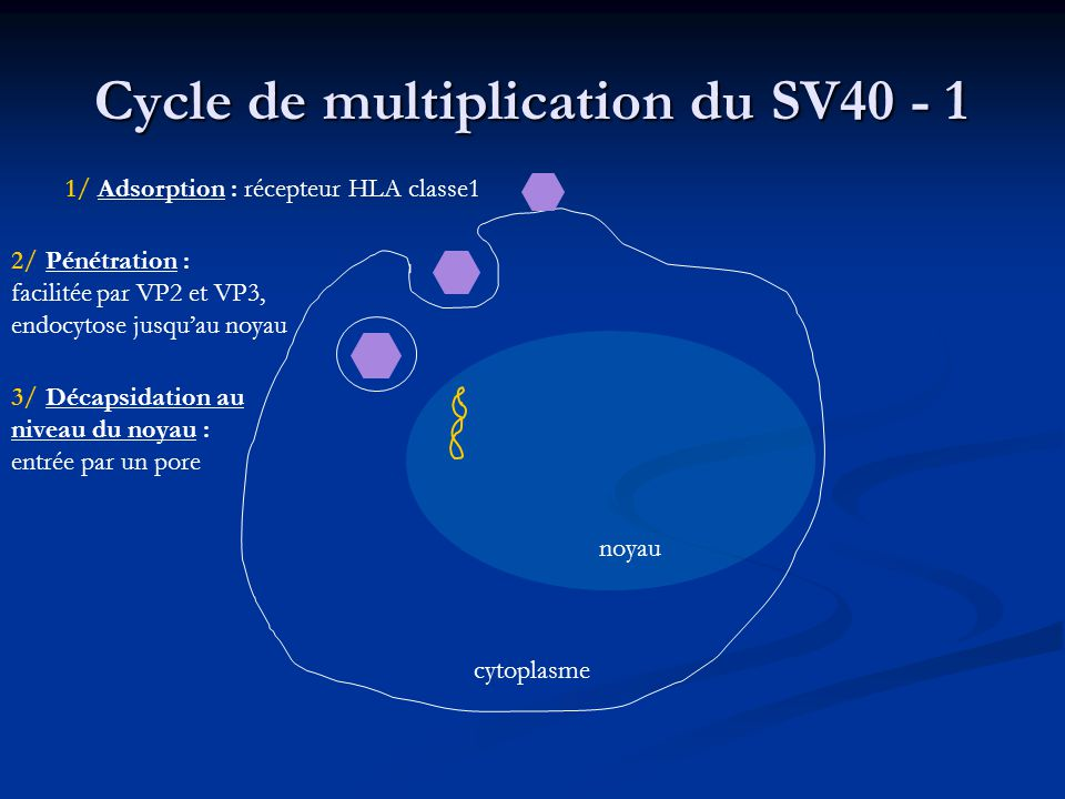 Cycle de multiplication du SV40 - 1