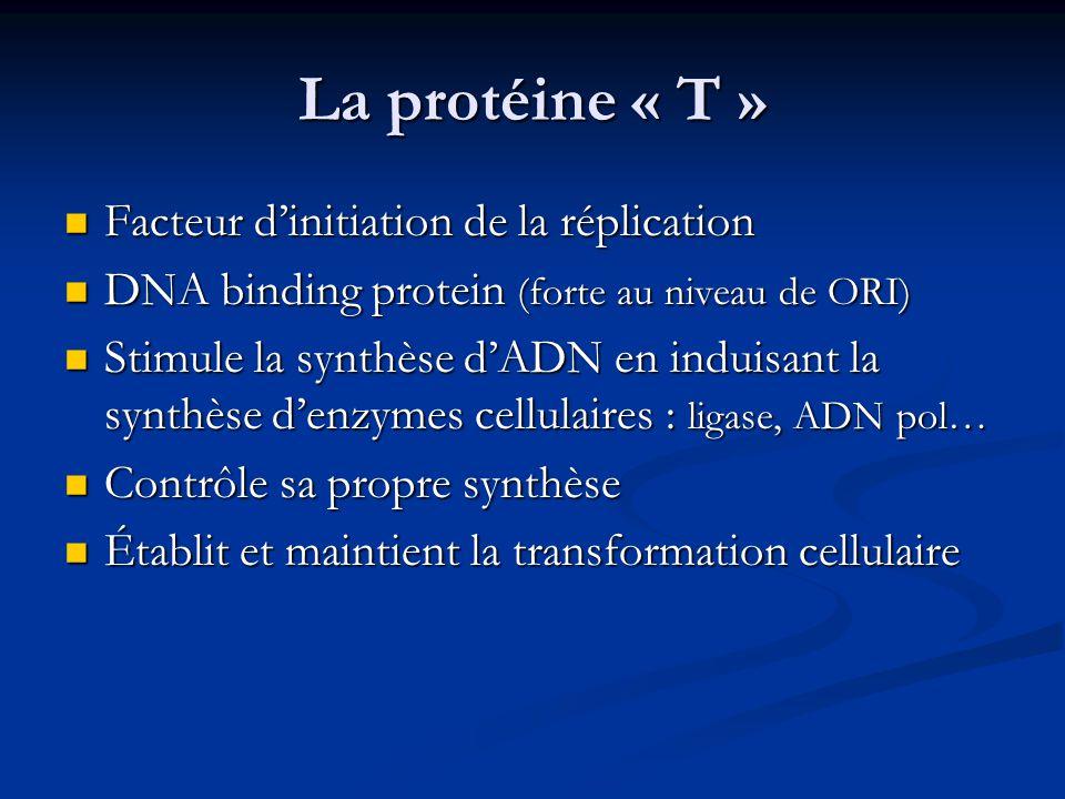 La protéine « T » Facteur d'initiation de la réplication