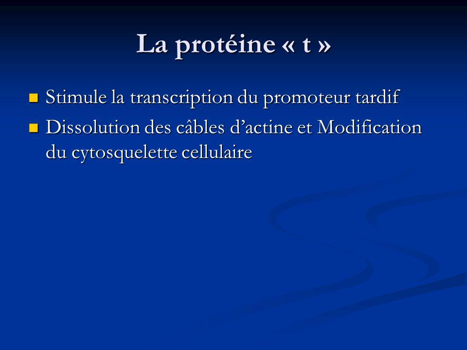 La protéine « t » Stimule la transcription du promoteur tardif