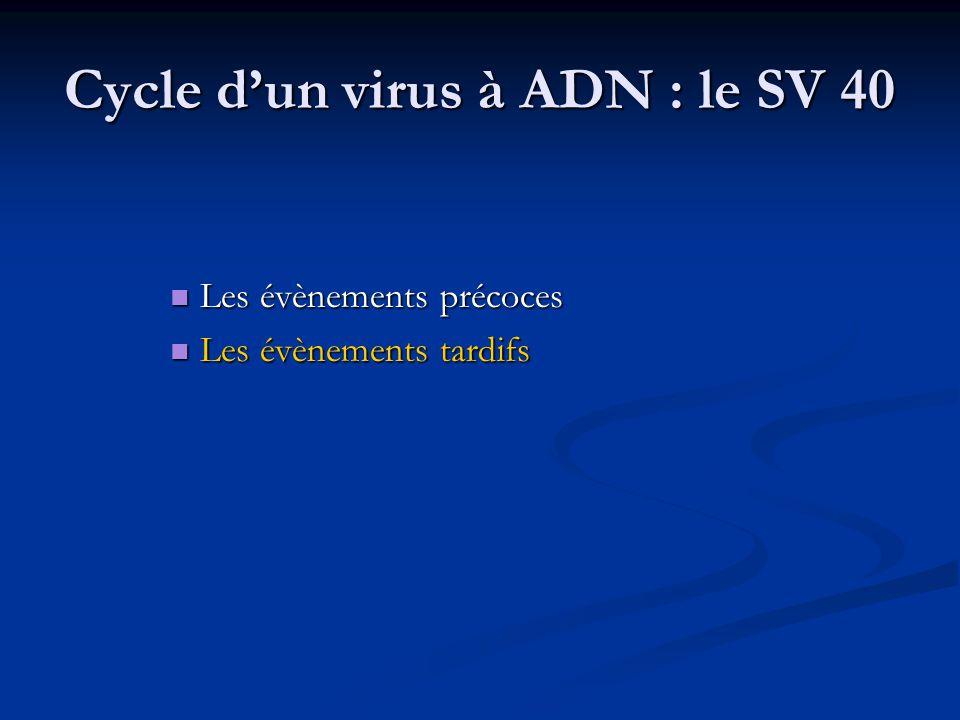 Cycle d'un virus à ADN : le SV 40