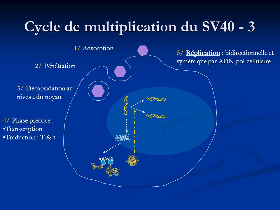 Cycle de multiplication du SV40 - 3