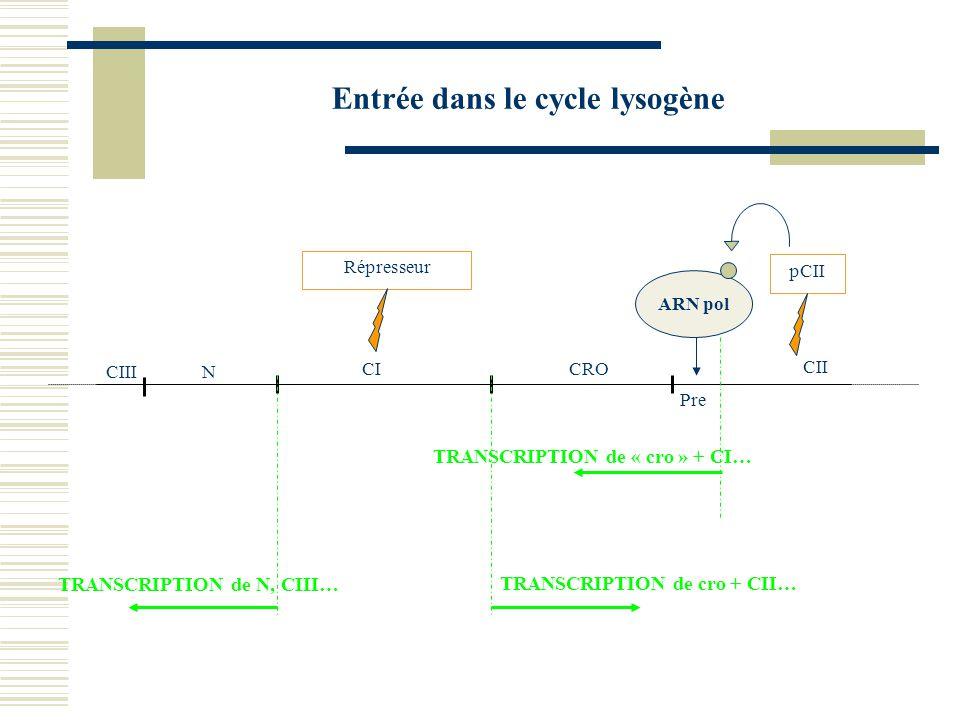 Entrée dans le cycle lysogène