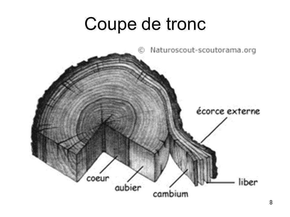 Coupe de tronc