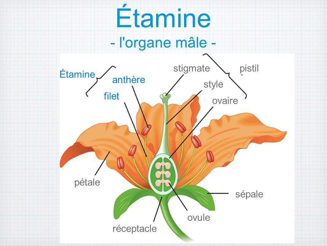 Étamine - l organe mâle -