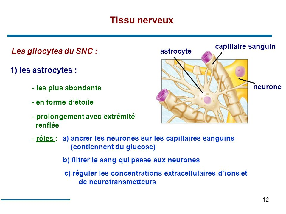 Tissu nerveux Les gliocytes du SNC : 1) les astrocytes :