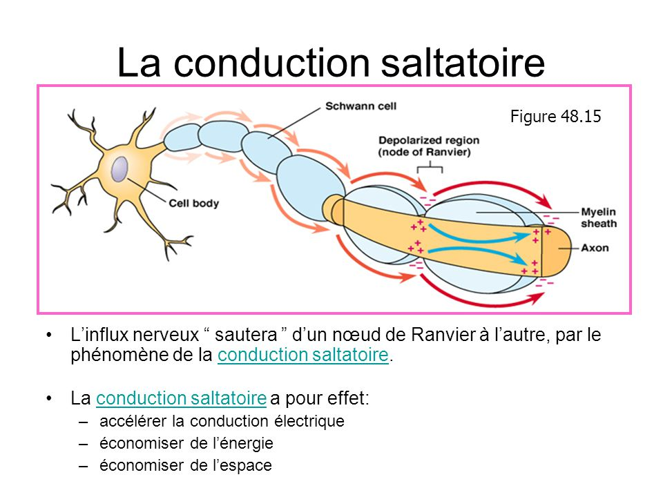 La conduction saltatoire