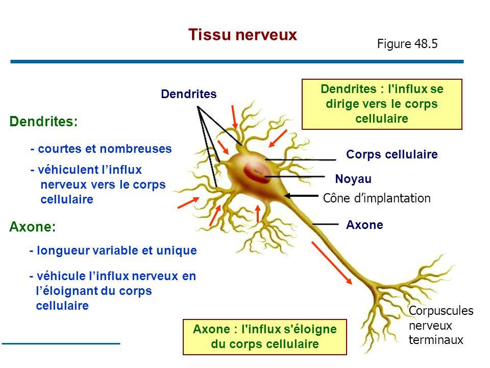 Tissu nerveux Dendrites: Axone: Figure 48.5