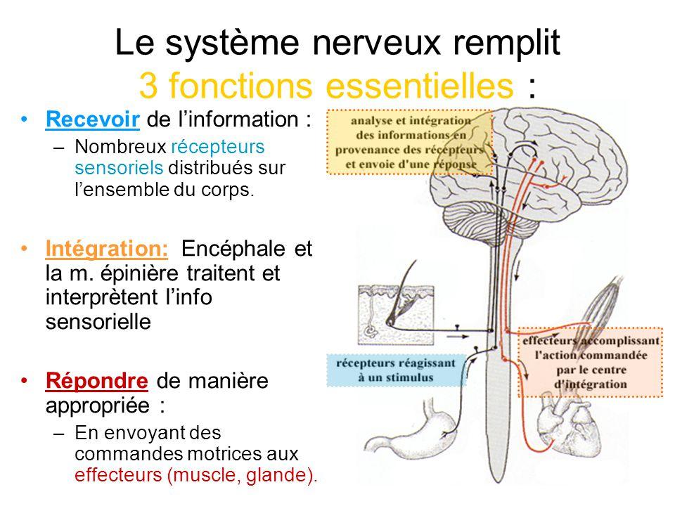 Le système nerveux remplit 3 fonctions essentielles :