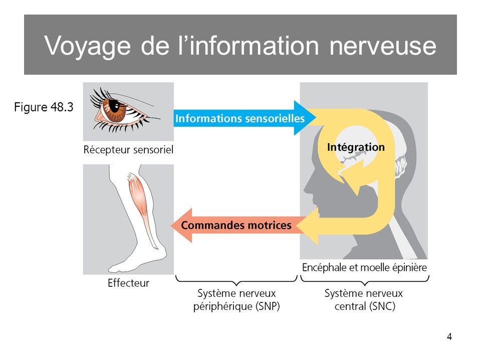 Voyage de l'information nerveuse