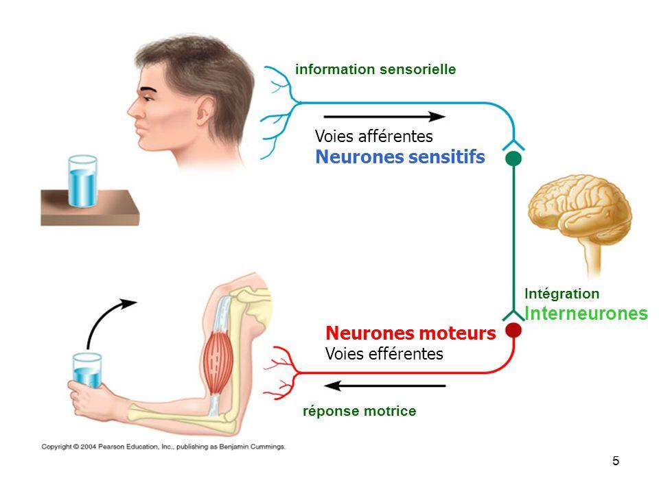 Neurones sensitifs Interneurones Neurones moteurs Voies afférentes