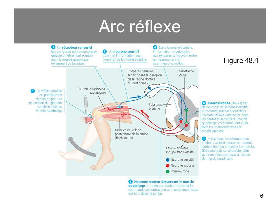 Arc réflexe Figure 48.4