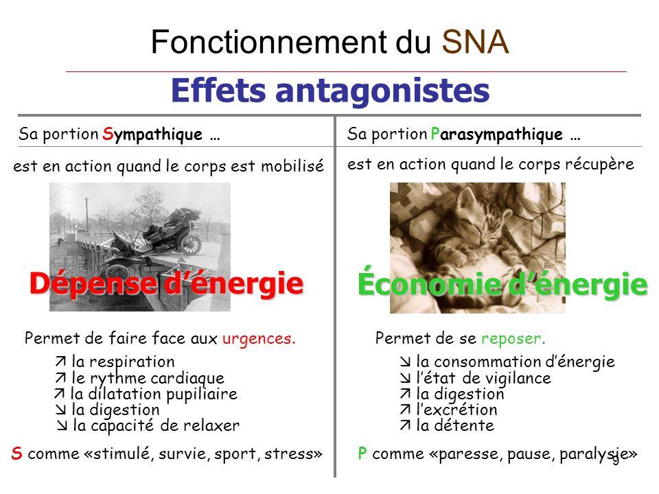 Fonctionnement du SNA Effets antagonistes Dépense d'énergie