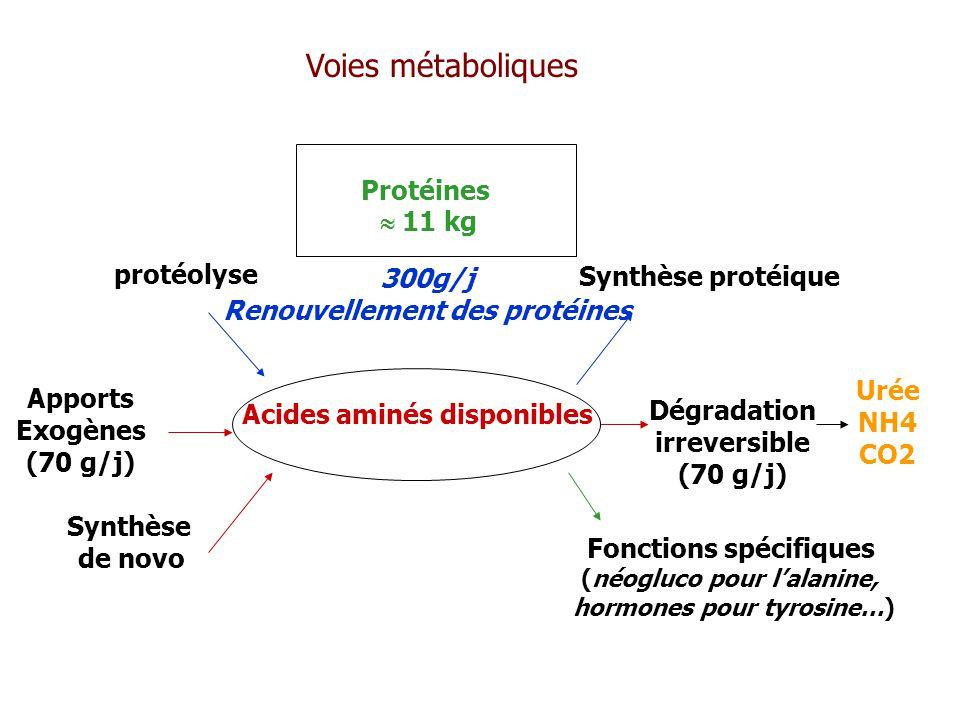 Voies métaboliques Protéines  11 kg protéolyse 300g/j