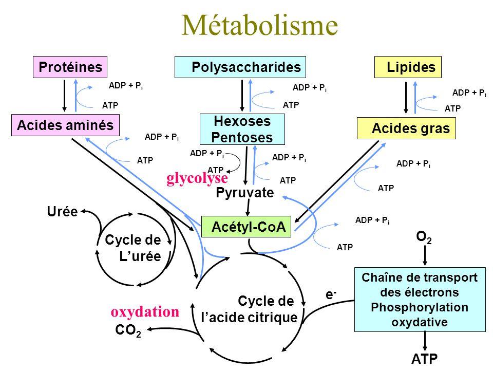 Chaîne de transport des électrons Phosphorylation oxydative