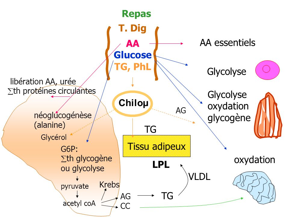 Repas T. Dig AA Glucose AA essentiels TG, PhL Glycolyse oxydation