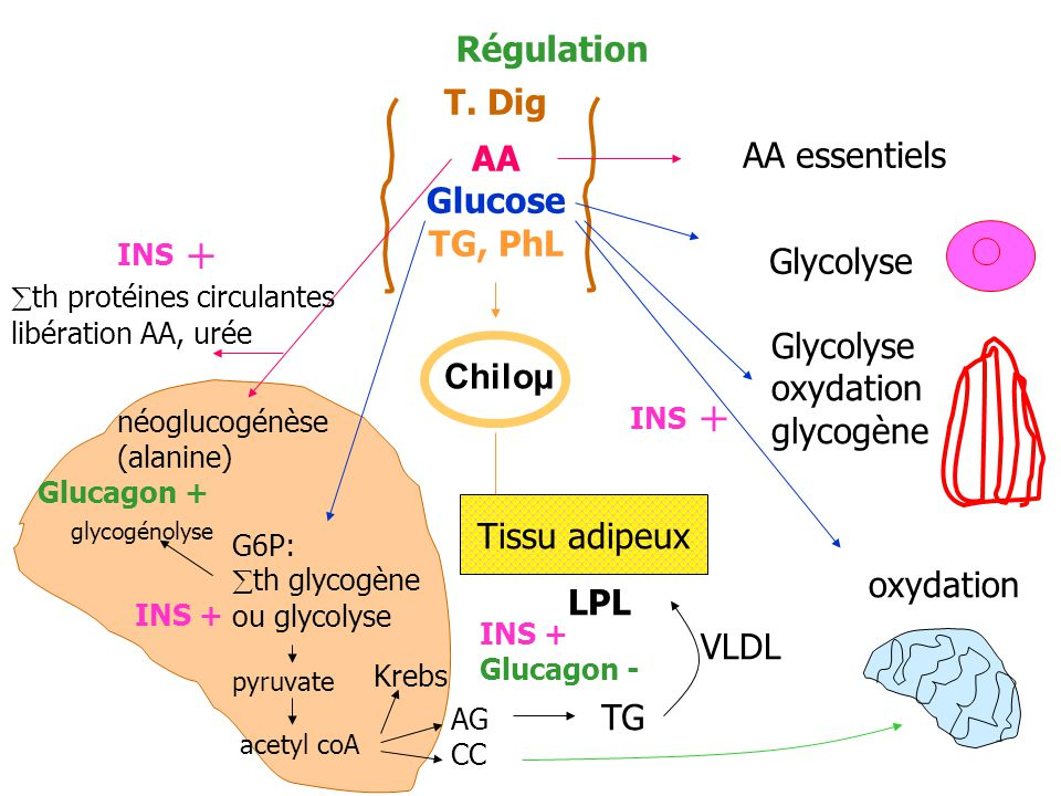 + + Régulation T. Dig AA Glucose AA essentiels TG, PhL Glycolyse