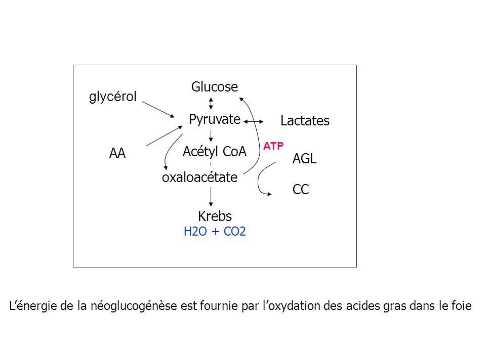 Glucose glycérol Pyruvate Acétyl CoA Lactates Krebs AA AGL