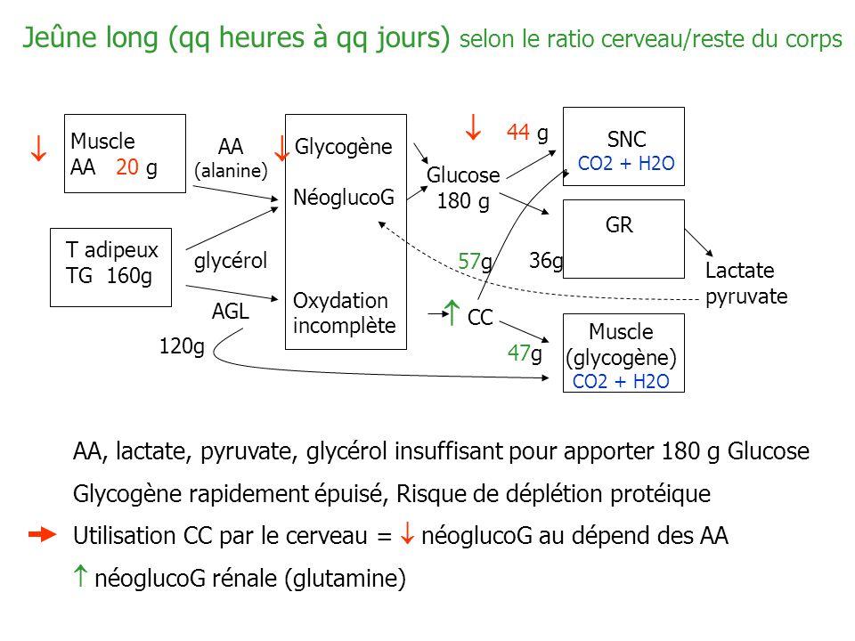 Jeûne long (qq heures à qq jours) selon le ratio cerveau/reste du corps
