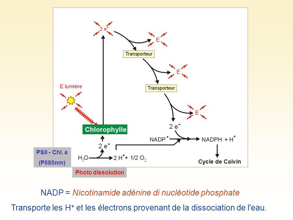 NADP = Nicotinamide adénine di nucléotide phosphate