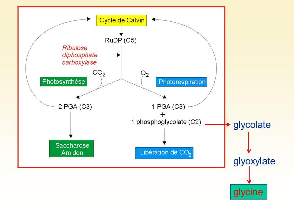 glycolate glyoxylate glycine