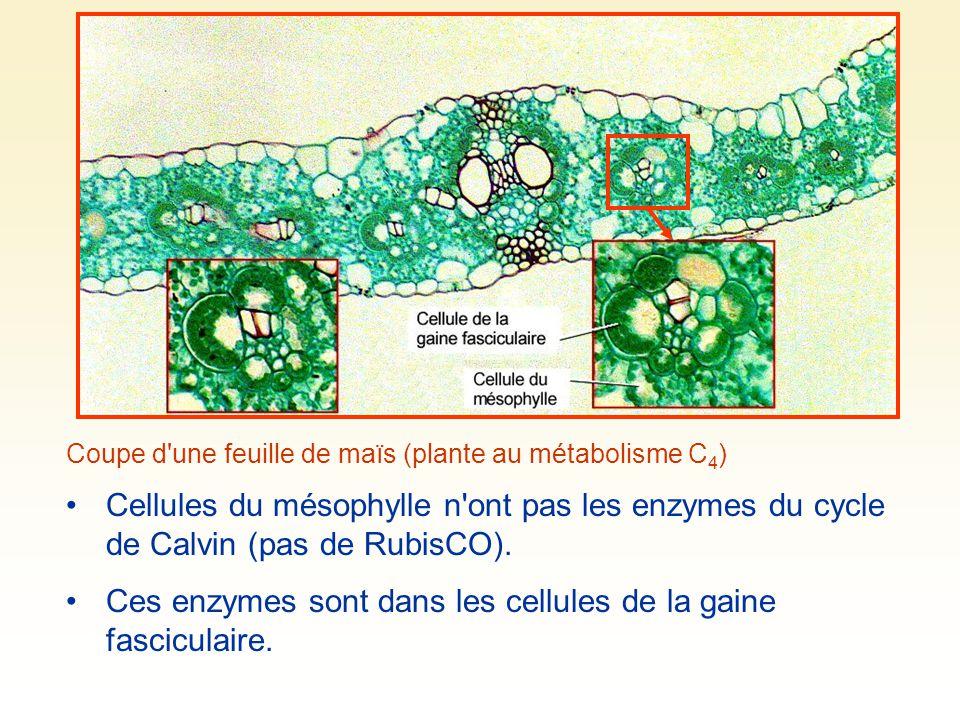 Ces enzymes sont dans les cellules de la gaine fasciculaire.