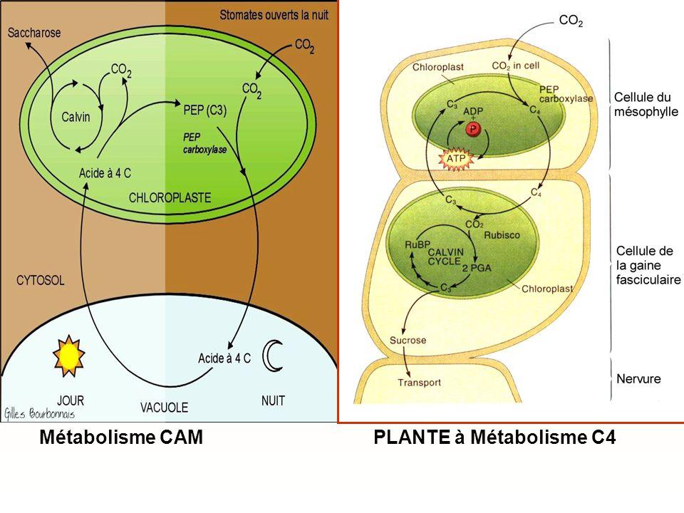 Métabolisme CAM PLANTE à Métabolisme C4