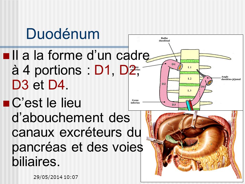Duodénum Il a la forme d'un cadre à 4 portions : D1, D2, D3 et D4.
