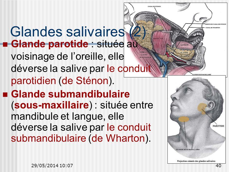 Glandes salivaires (2) Glande parotide : située au voisinage de l'oreille, elle déverse la salive par le conduit parotidien (de Sténon).