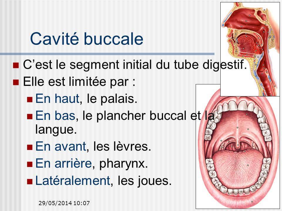 Cavité buccale C'est le segment initial du tube digestif.